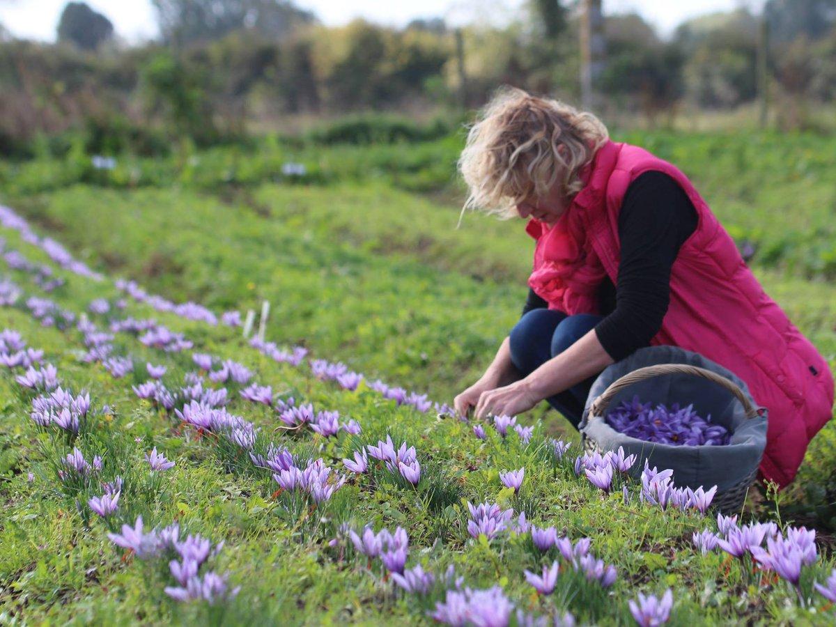 Anne Poupart récolte du safran de la Baie de Somme