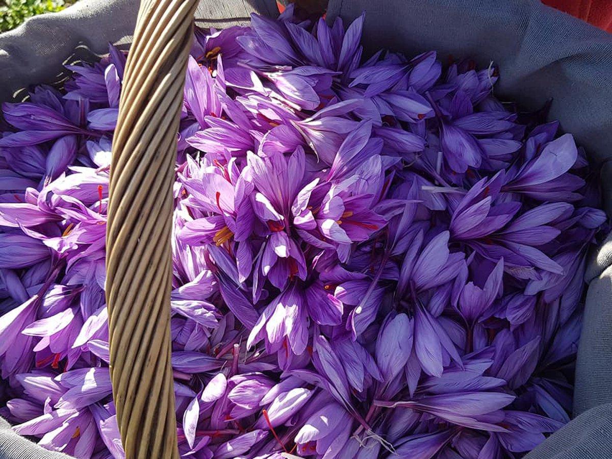 Fleurs de safran dans un panier Safran de la Baie de Somme