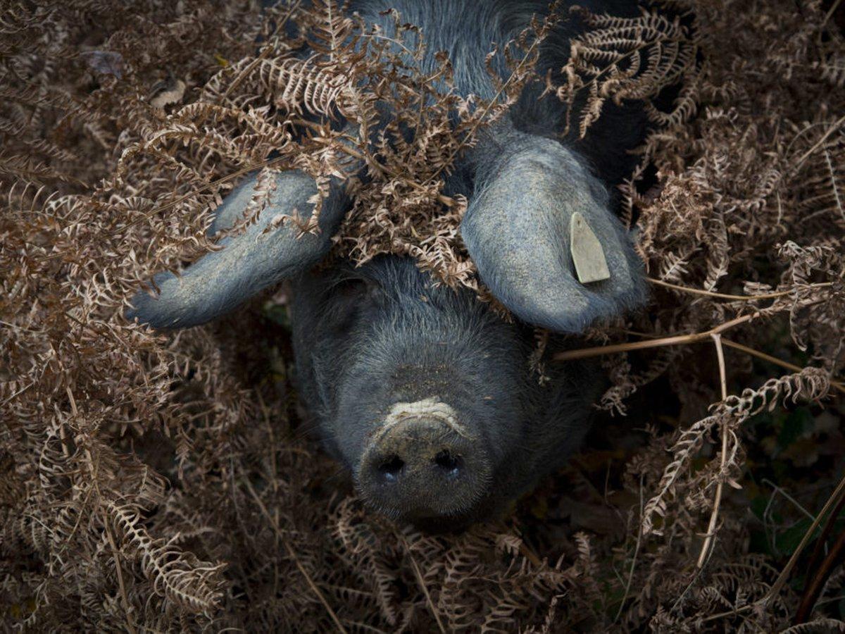 Porc Noir de Bigorre AOP aux salaisons de l'adour