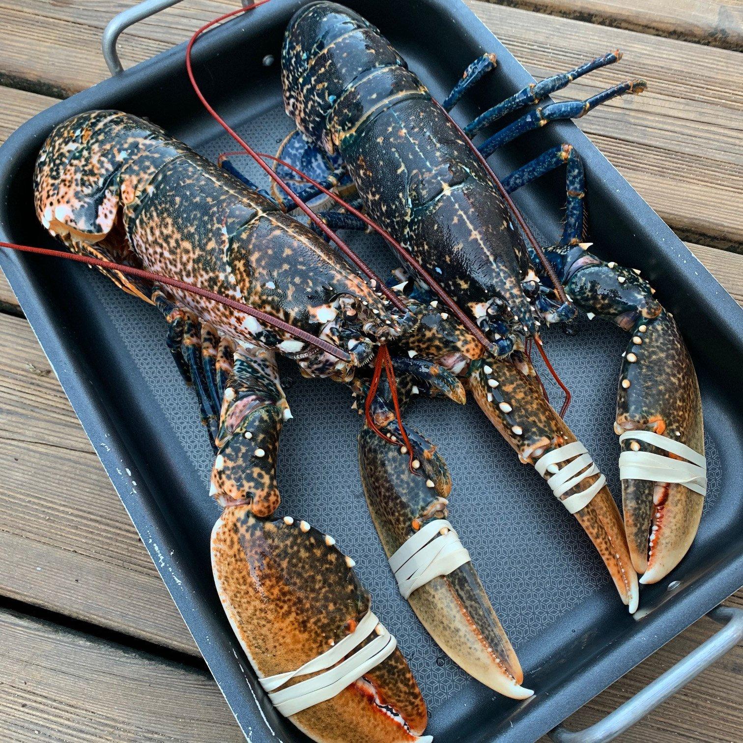 homard bleu breton produit de saison juin