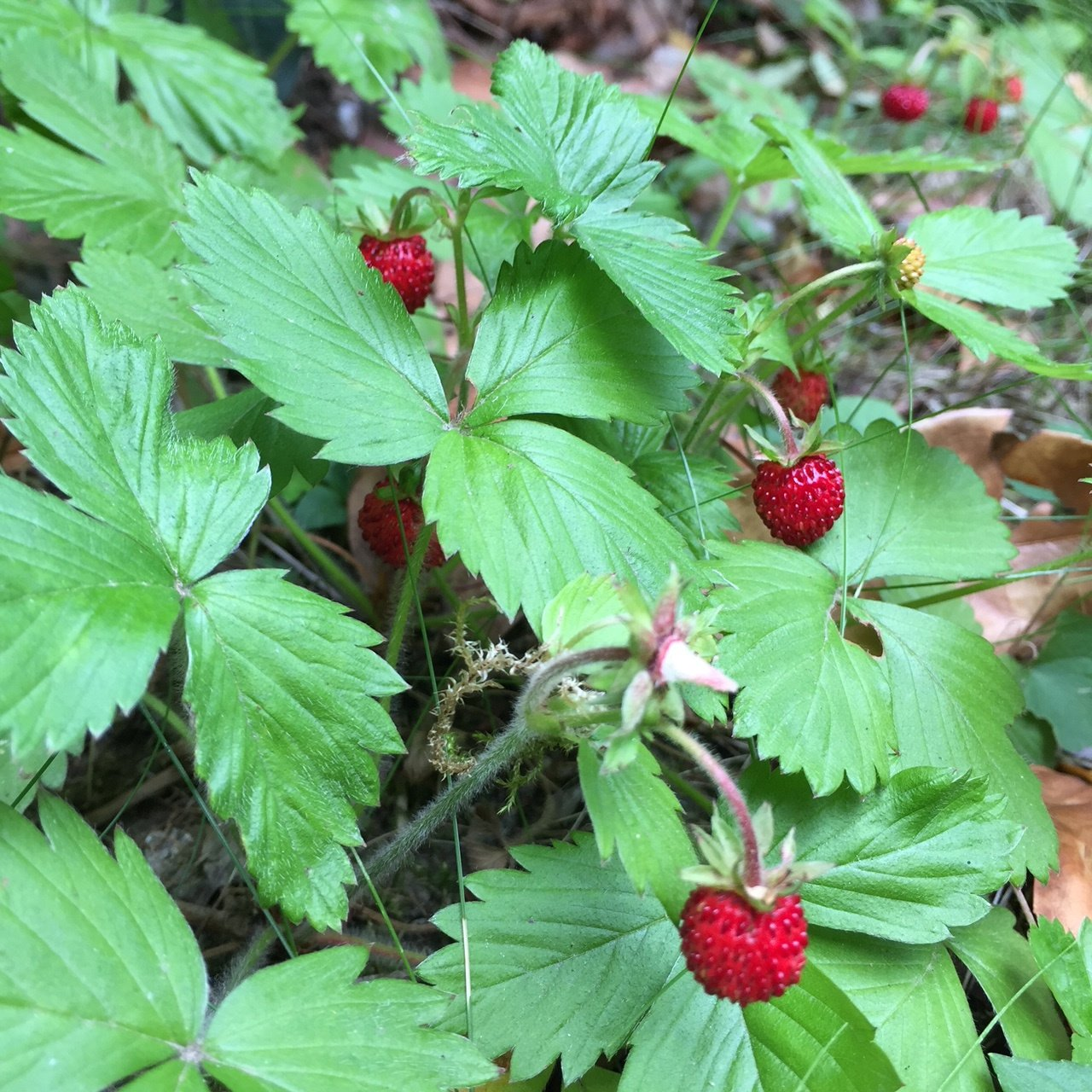 fraises des bois, produit de saison juin