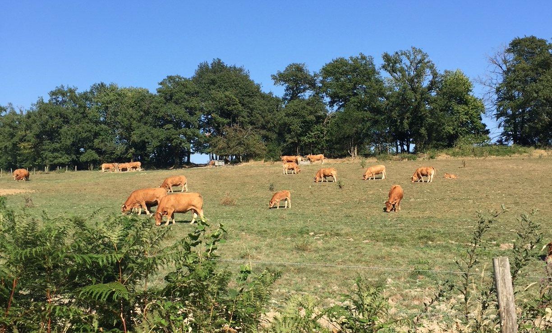 Vaches limousine dans un champ
